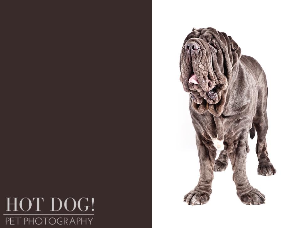 dog-of-the-day-neapolitan-mastiff