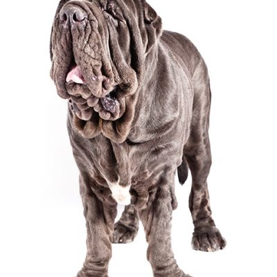 Dog of the Day | Neapolitan Mastiff