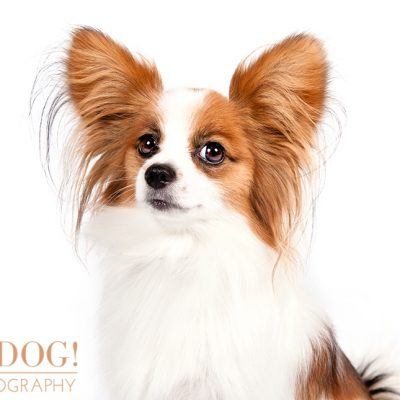 Dog of the Day | Papillon