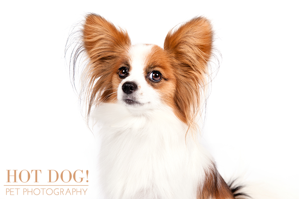 dog-of-the-day-papillon