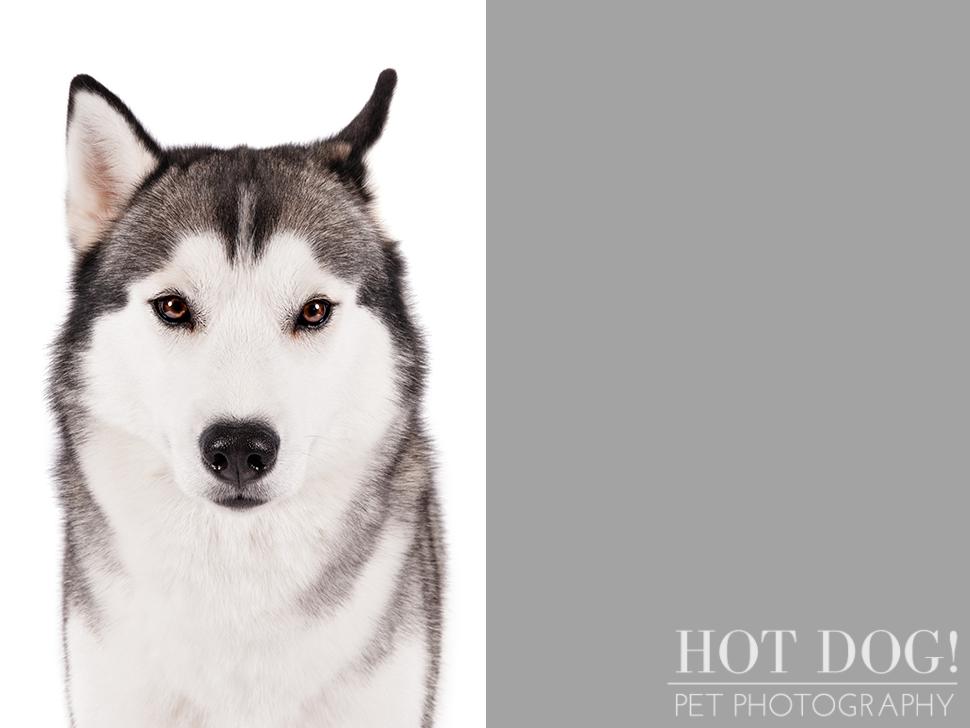 dog-of-the-day-siberian-husky