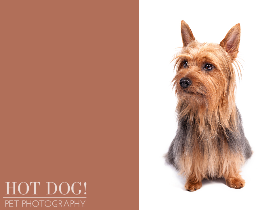 dog-of-the-day-silky-terrier