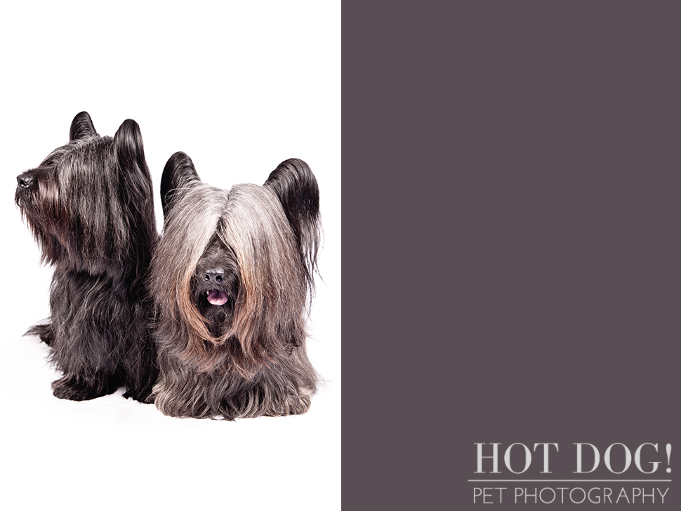 dog-of-the-day-skye-terrier