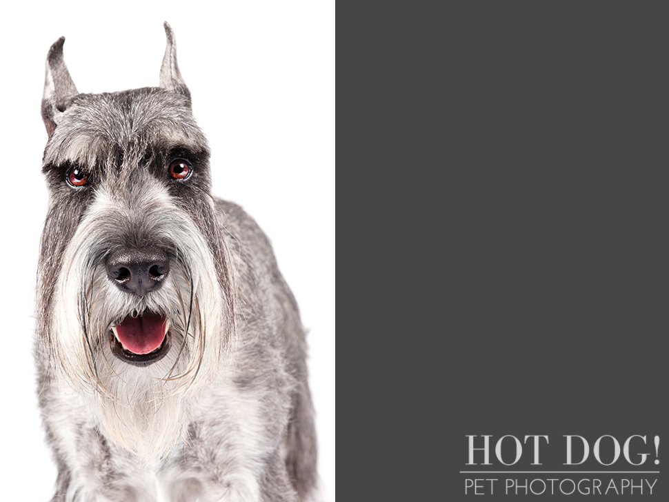 dog-of-the-day-standard-schnauzer