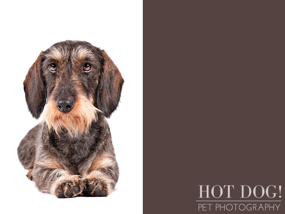 dog-of-the-day-wirehaired-dachshund