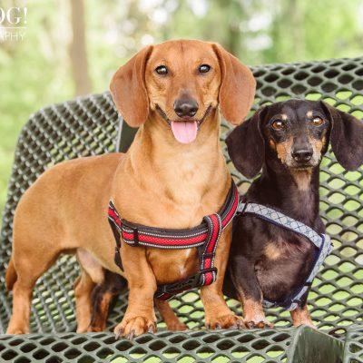 Jazz & Ossie the Dachshunds | Orlando Pet Photography