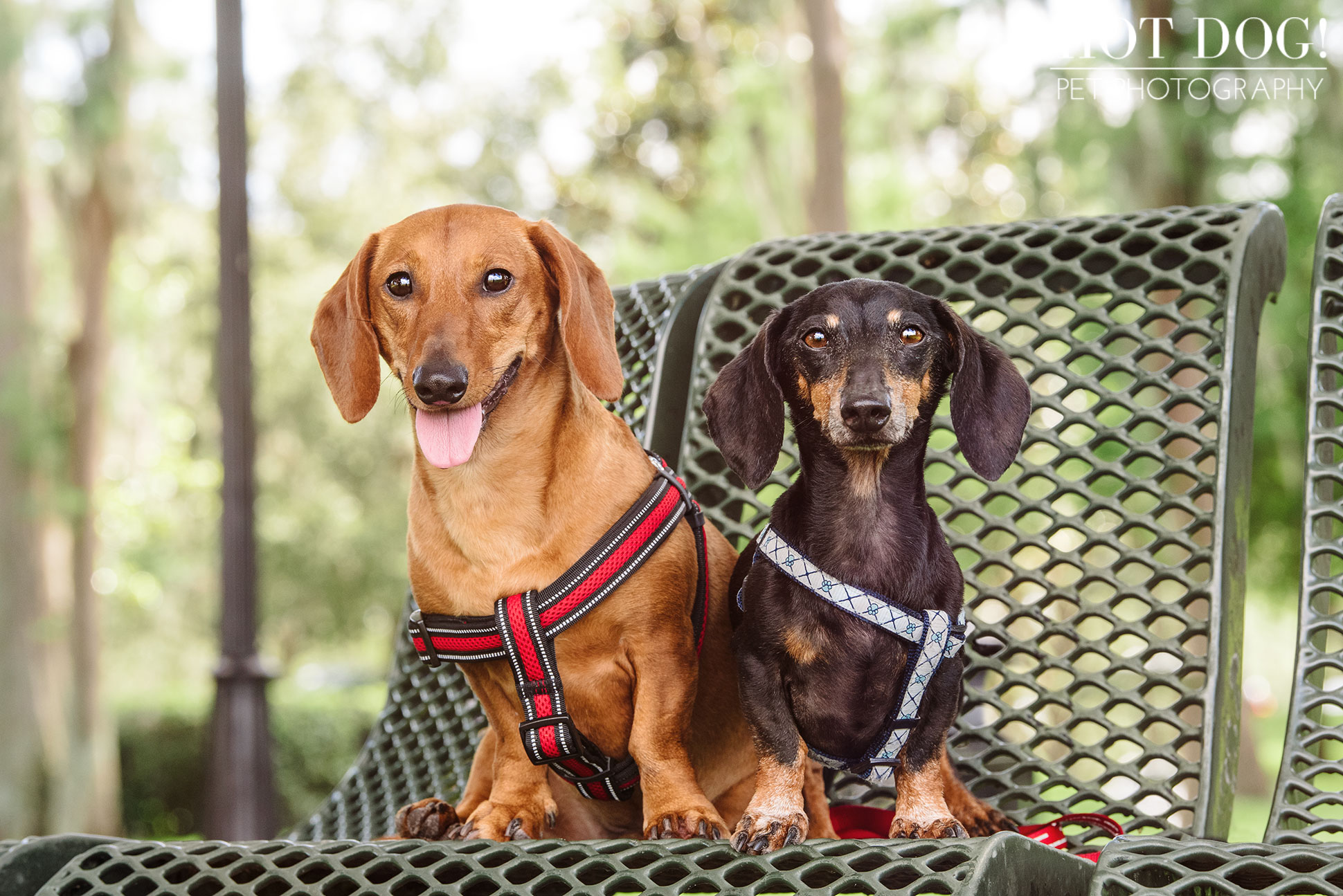 Jazz & Ossie the Dachshunds | Orlando Pet Photography