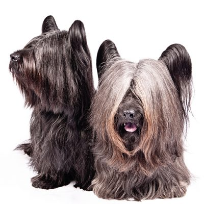 Dog of the Day | Skye Terrier