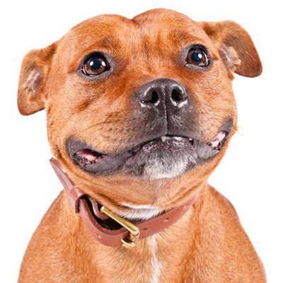 Dog of the Day | Staffordshire Bull Terrier