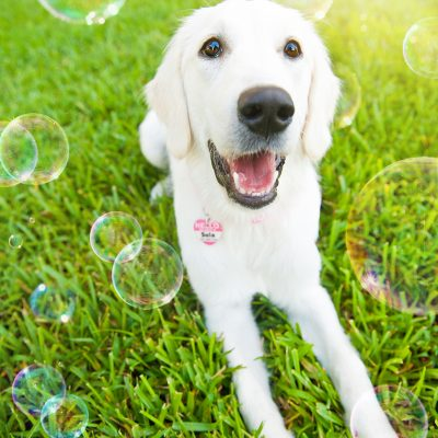 Sula the English Cream Golden Retriever | Orlando Pet Photography