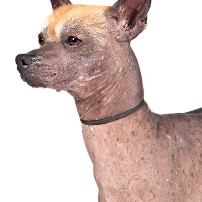 Dog of the Day | Xoloitzcuintli